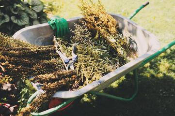 Obraz removing dried flowers from garden. Cut and trim perennials, seasonal gardenwork in late summer or autumn - fototapety do salonu