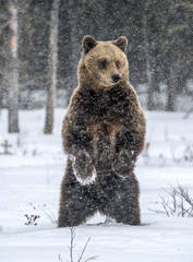 Brown bear standing on his hind legs on the snow in the winter forest. Snowfall. Scientific name: ...
