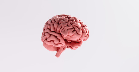 Human brain Anatomical Model