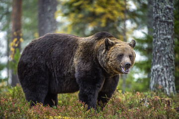 Big Adult Male of Brown bear in the autumn forest. Scientific name: Ursus arctos. Natural habitat.