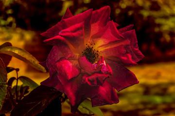 Ilustración de una rosa del jardín en tonos cálidos y ocres