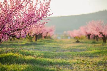 Foto op Canvas Kersenbloesem Pink peach tree in a natural garden during flowering.