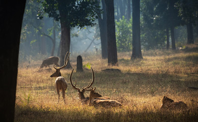 Spoed Fotobehang Hert Spotted deer or chital in a beautiful winter morning in Indian forest
