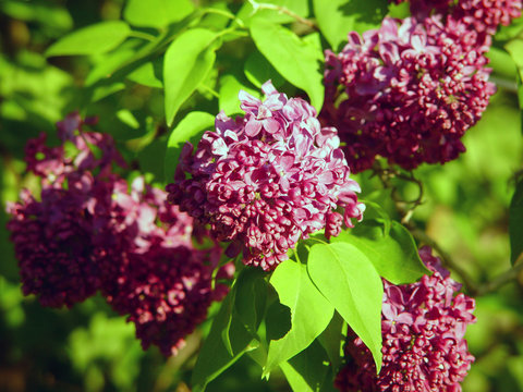 Lilacs in full bloom in Vermont
