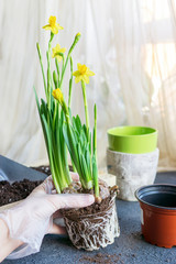 Photo sur Toile Narcisse Process of repotting narcissus plant with tubers in new dirt at home near window. Planting, gardening concept. Blooming spring seasonal flower. Selective focus, close up, copy space. Natural light.