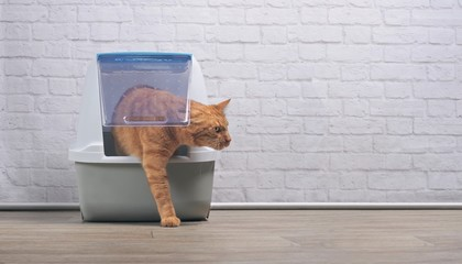 Cute ginger cat going out of a closed Litter box. Panramic image with copy space.
