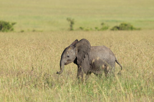 Baby elephant in the african savanna.