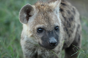 Fotobehang Hyena Young spotted hyena face closeup.