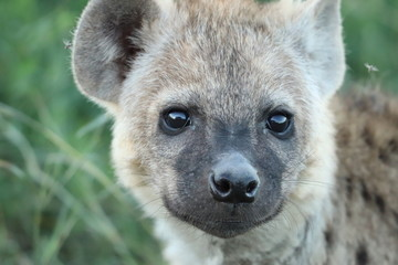 Young spotted hyena face closeup.