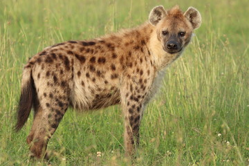Fotobehang Hyena Spotted hyena standing in the african savanna.