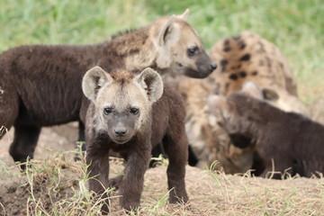 Fotobehang Hyena Group of spotted hyena cubs (crocuta crocuta) by their den.