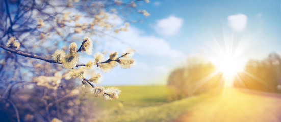 Defocused spring landscape. Beautiful nature with flowering willow branches and rural road against blue sky and bright sunlight, soft focus. Ultra wide format.