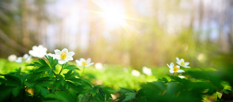 Beautiful white flowers of anemones in spring in a forest close-up in sunlight in nature. Spring forest landscape with flowering primroses.