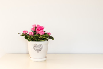 Pink azalea flower blooming in a white pot with a heart for Valentine Day.