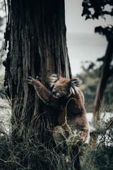 koala austarlia