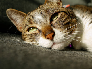 portrait of cute brown cat