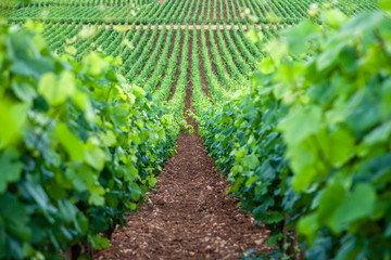 Poster Wijngaard Closeup panoramic shot rows summer vineyard scenic landscape, plantation, beautiful wine grape branches, sun, limestone land. Concept autumn grapes harvest, nature agriculture background
