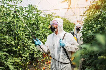 Industrial agriculture theme. Experienced workers in protective suites spraying toxic herbicides or insecticides on vegetables growing plantation. Natural hard light on sunny day.