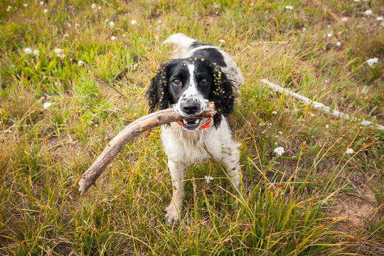 dog playing with a stick