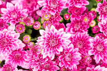 Beautiful chrysanthemum flower in garden for backdrop use