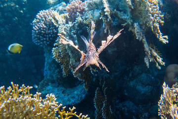 In de dag Koraalriffen Lionfish (Pterois) in the coral reefs of egypts read sea close to Marsa Alam