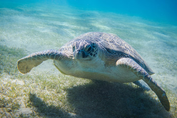 Photo sur Toile Pingouin Huge green sea turtle (Chelonia mydas) in the seagrass in the red sea egypt close to Marsa Alam