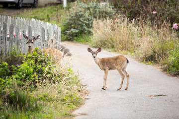 A doe and fawn deer pause while crossing the road in the tiny beach town of Salmon Creek on the Northern California Coast.