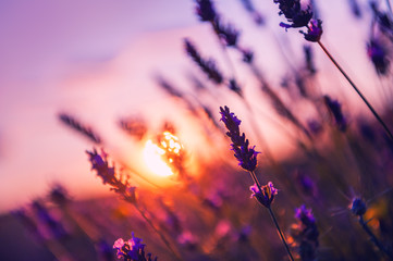Lavender flowers at sunset in Provence, France. Macro image, shallow depth of field. Beautiful...