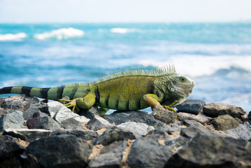 An iguana on the rocks by the ocean