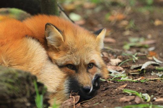 Entspannter Fuchs