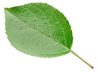 Apple leaves isolated on white background. One Leaf Apple Clipping Path.