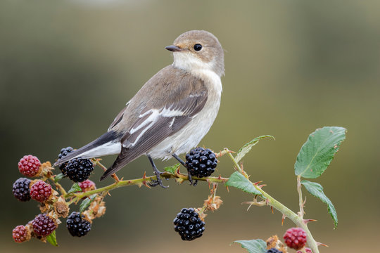 Flycatcher, Ficedula hypoleuca, perched on a blackberry on a uniform background. Leon, Spain