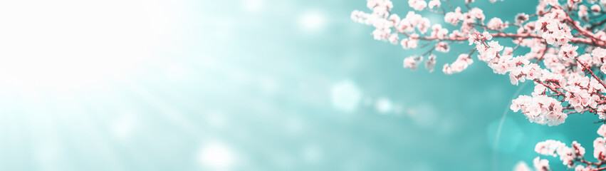 Panoramic shot of flowering apricot branches on a sunny sky background with copy space: spring time concept