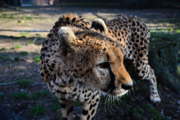 Close picture of cheetah