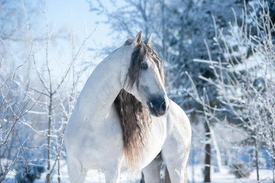 beautiful andalusian horse winter portrait