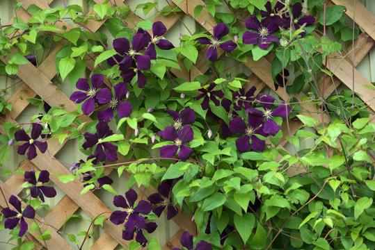 garden and landscape:Purple clematis on a trellis.