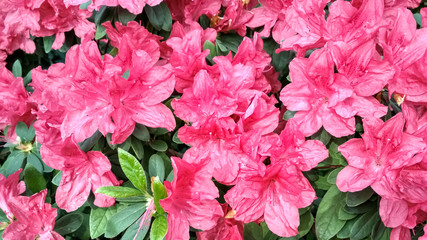 In de dag Azalea Flower azalea blooming in springtime. Background full of flowers Japanese pink Azalea.