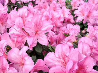 Aluminium Prints Azalea Flower azalea blooming in springtime. Background full of flowers Japanese pink Azalea.