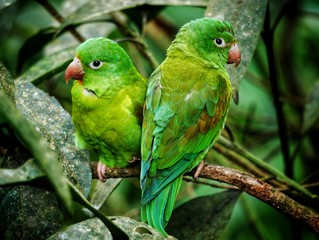 Poster Perroquets Green parrot couple with red beak in Costa Rica in a tree between green leaves in the rainforest