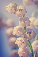 Wall Murals Lily of the valley Toned spring flower background. Natural nature background with blooming beautiful flowers lilies of the valley lilies-of-the-valley. Copy space for text spring flower background. Lily of the valley.