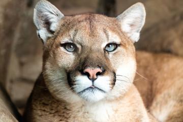Printed kitchen splashbacks Puma portrait of lynx