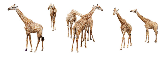 Canvas Prints Giraffe Variation acting of giraffe isolate on white background for graphics resources.