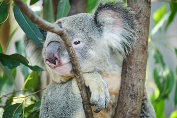 Garden Poster Koala Male koala sitting in a tree branch surrounded by eucalyptus leaves