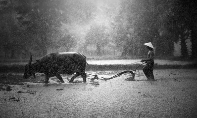 Foto op Plexiglas Buffel Farmer in The Rain; Farmers grow rice in the rainy season. They were soaked with water and mud to be prepared for planting. wait three months to harvest crops (Black and white tone)