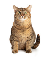 Large brown and black tabby cat sitting