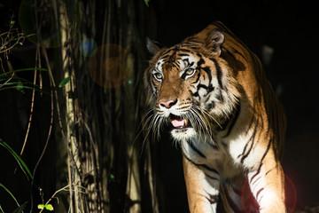 Photo sur Aluminium Animaux de Hipster Photos of tiger naturally.