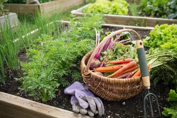 Harvested vegetables, gardening gloves and hand cultivator garden