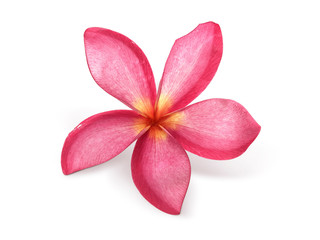 Foto auf AluDibond Plumeria frangipani flower isolated on white background