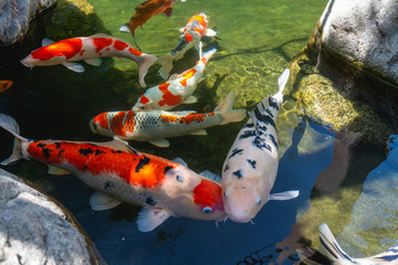 Koi Pond. Beautiful multicolored koi fish swimming in the pond. Clean water, stones, beautiful reflections, and fancy fish