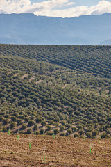 Olive tree fields in Andalusia. Spanish agricultural harvest landscape